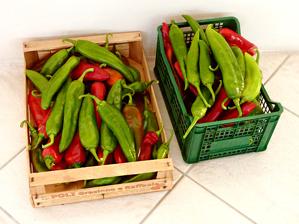 Eigene Ernte: New Mexican Green & Red Chiles